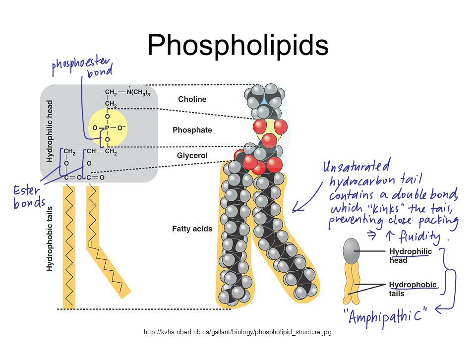 Phospholipids Phospholipids are amphipathic (have both hydrophobic and hydrophilic regions) In aqueous surroundings, the hydrophilic phosphate heads face the water while the hydrophobic hydrocarbon tails aggregate away from the water, forming a phospholipid bilayer with a hydrophobic core