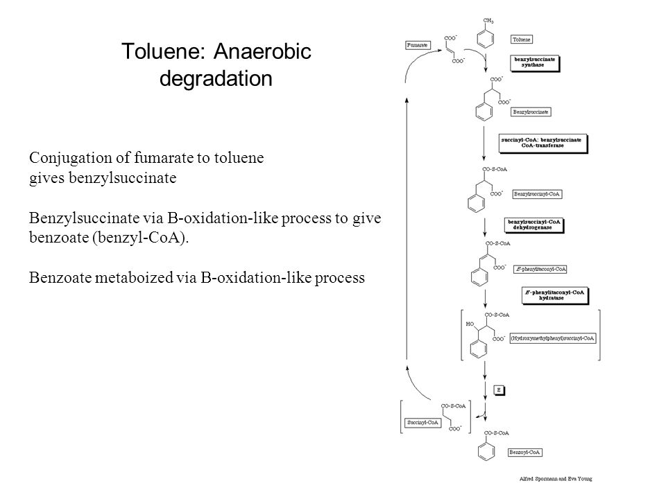 Toluene: Anaerobic degradation Conjugation of fumarate to toluene gives benzylsuccinate Benzylsuccinate via  -oxidation-like process to give benzoate (benzyl-CoA).