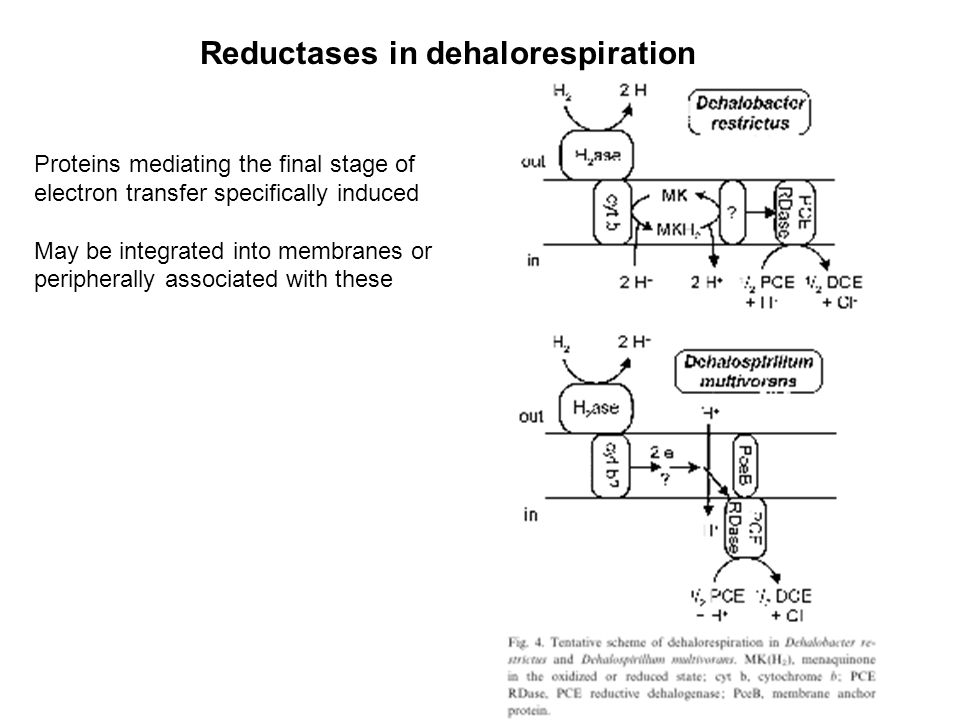 Reductases in dehalorespiration Proteins mediating the final stage of electron transfer specifically induced May be integrated into membranes or peripherally associated with these