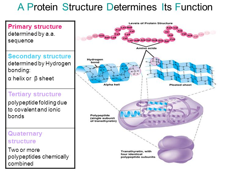 A Protein Structure Determines Its Function Primary structure determined by a.a. sequence Secondary structure determined by Hydrogen bonding: α helix