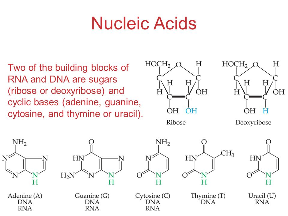 Organic and Biological Chemistry Nucleic Acids Two of the building blocks of RNA and DNA are sugars (ribose or deoxyribose) and cyclic bases (adenine, guanine, cytosine, and thymine or uracil).