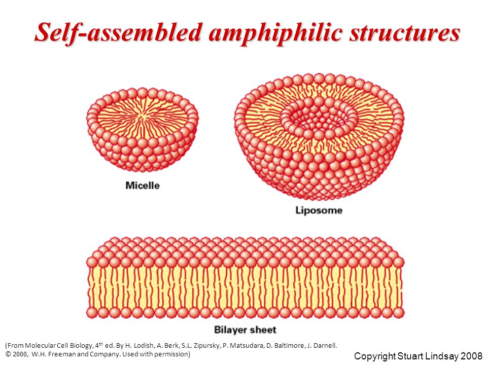 Self-assembled amphiphilic structures Copyright Stuart Lindsay 2008 (From Molecular Cell Biology, 4 th ed.