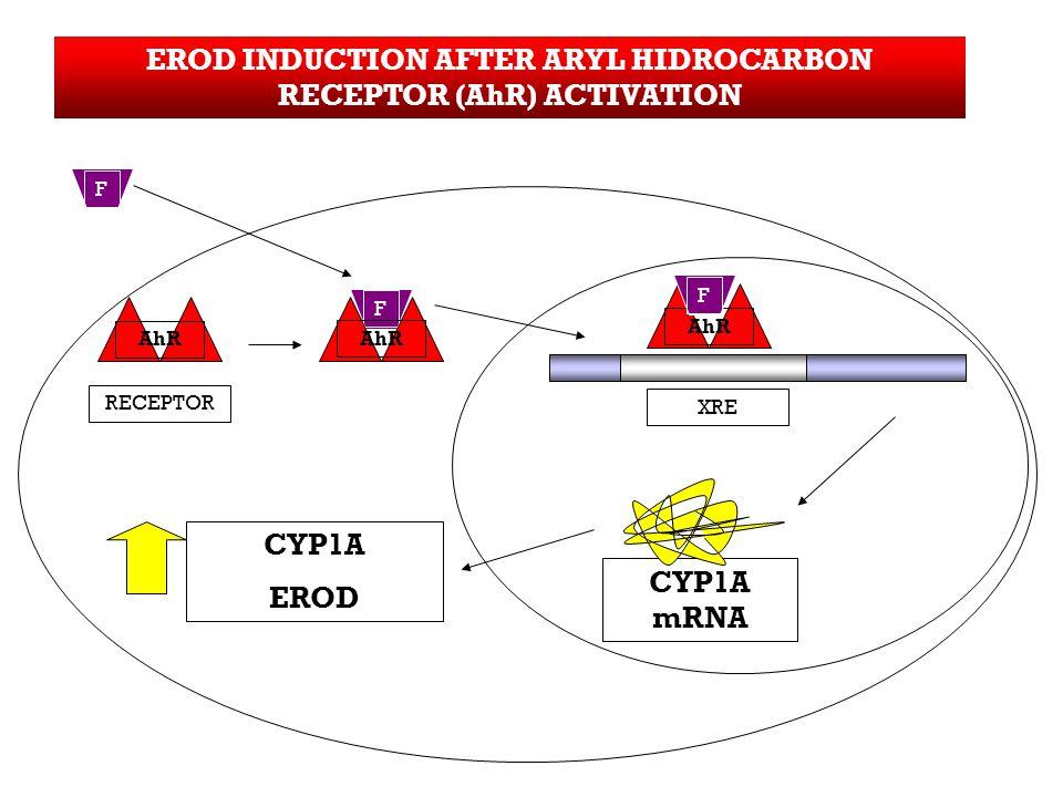 EROD INDUCTION AFTER ARYL HIDROCARBON RECEPTOR (AhR) ACTIVATION CYP1A mRNA CYP1A EROD F RECEPTOR AhR F XRE AhR F