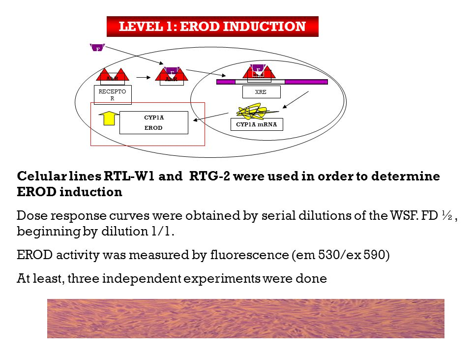 Celular lines RTL-W1 and RTG-2 were used in order to determine EROD induction Dose response curves were obtained by serial dilutions of the WSF.