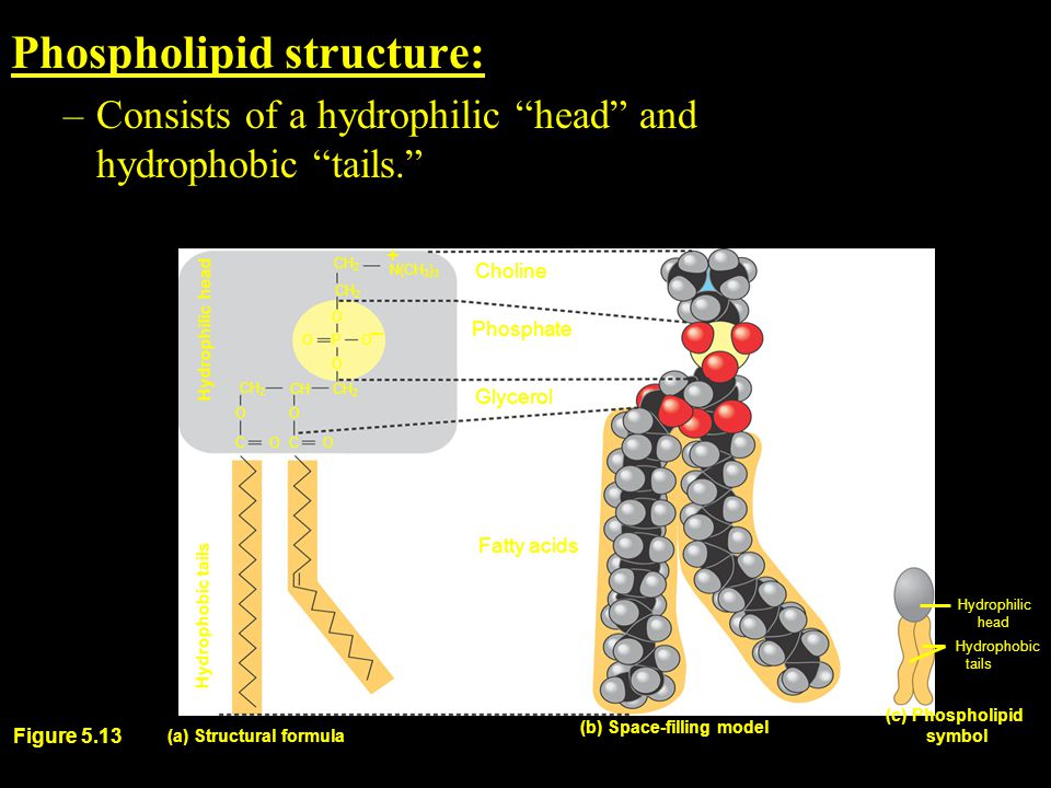 Phospholipid structure: –Consists of a hydrophilic head and hydrophobic tails. CH 2 O P O O O CH CH 2 OO C O C O Phosphate Glycerol (a) Structural formula (b) Space-filling model Fatty acids (c) Phospholipid symbol Hydrophobic tails Hydrophilic head Hydrophobic tails – Hydrophilic head CH 2 Choline + Figure 5.13 N(CH 3 ) 3