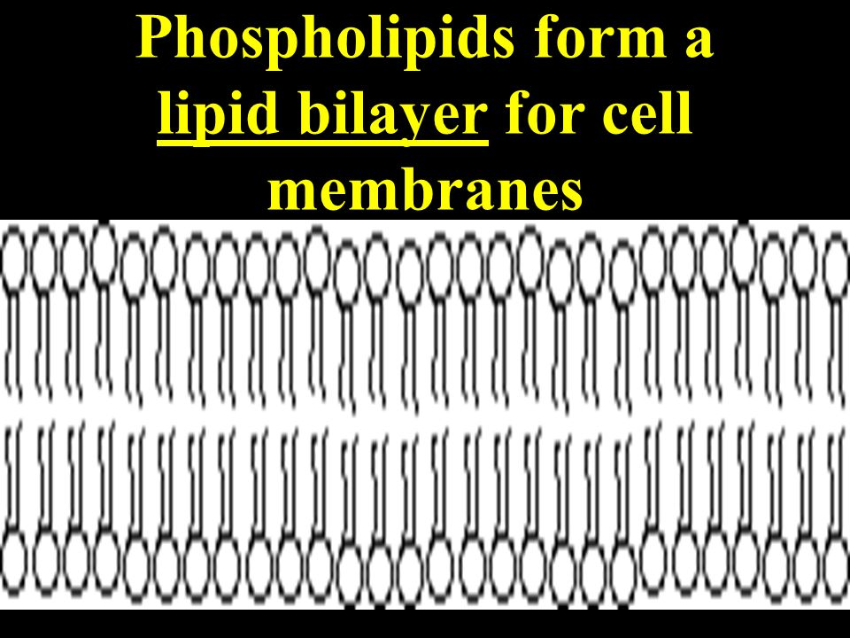 Phospholipids form a lipid bilayer for cell membranes