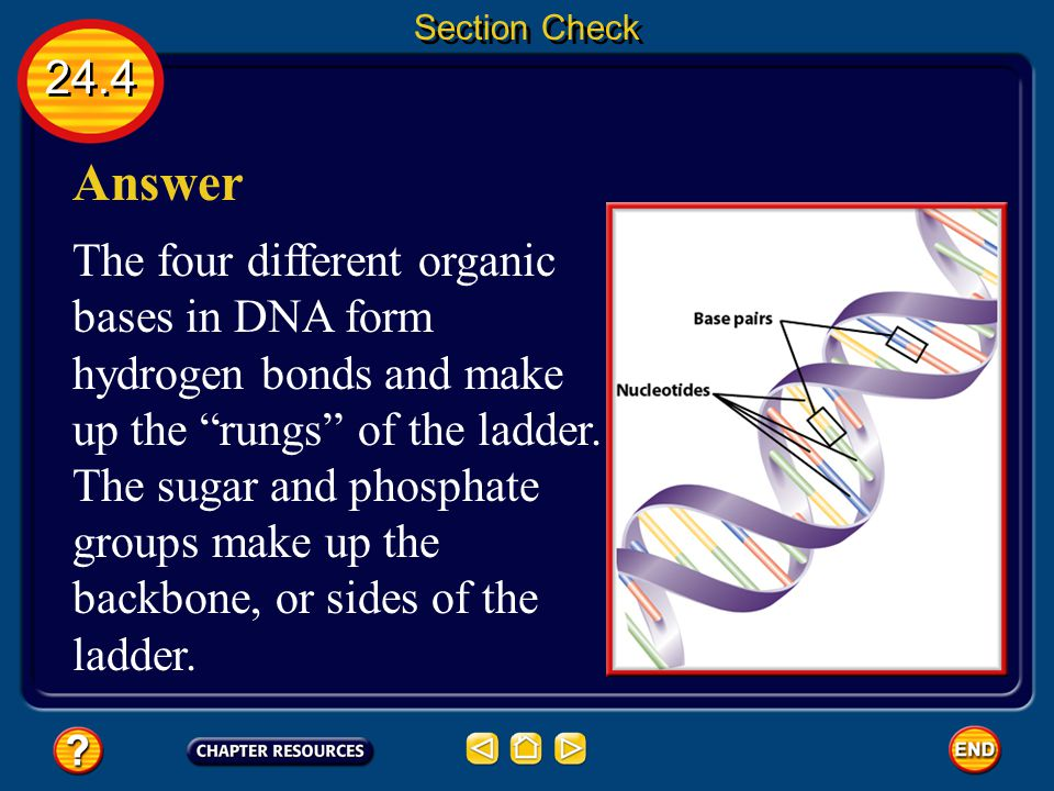"""24.4 Section Check Question 3 What part of a nucleic acid monomer forms the """"rungs"""" of a DNA ladder?"""