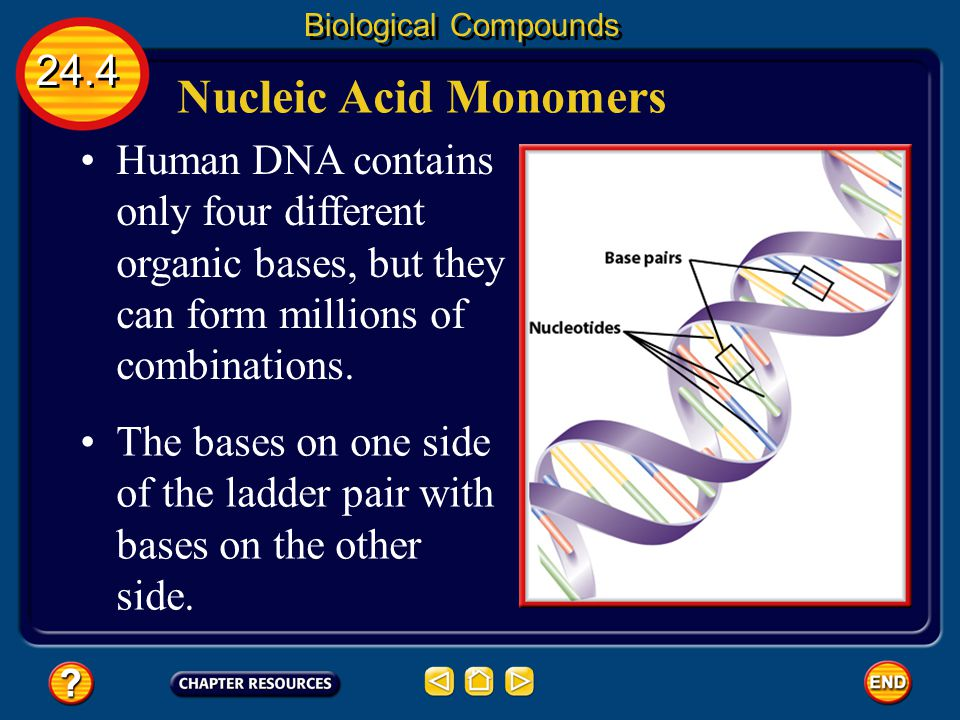 24.4 Biological Compounds Nucleic Acid Monomers In DNA two nucleotide chains twist around each other forming what resembles a twisted ladder or what i