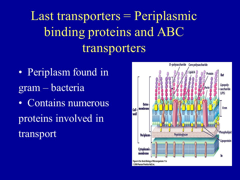 Last transporters = Periplasmic binding proteins and ABC transporters Periplasm found in gram – bacteria Contains numerous proteins involved in transp