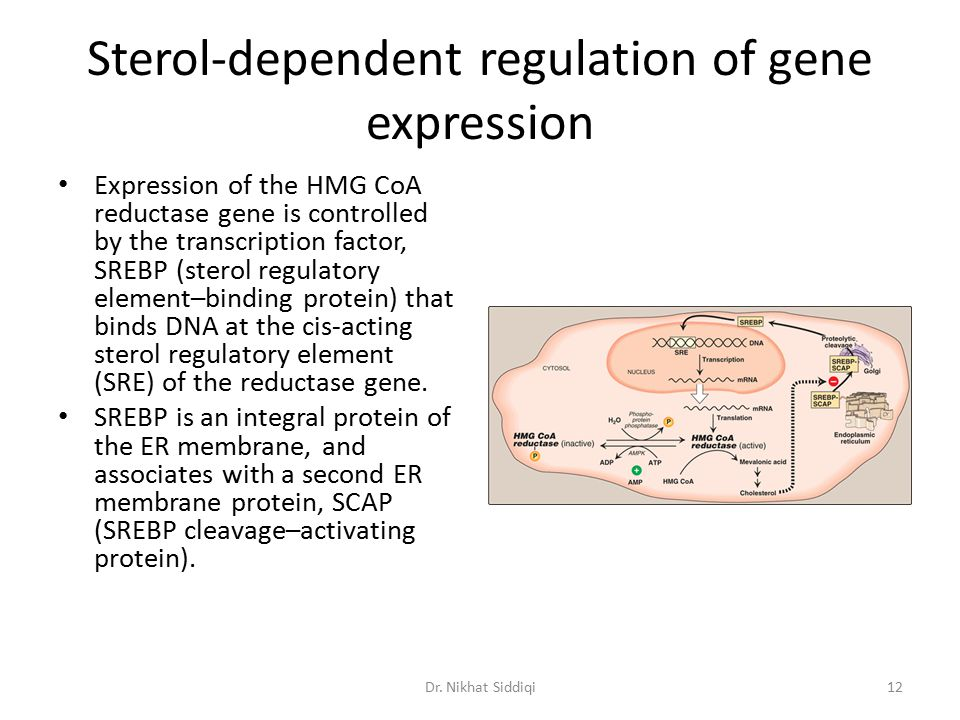 Sterol-dependent regulation of gene expression Expression of the HMG CoA reductase gene is controlled by the transcription factor, SREBP (sterol regul