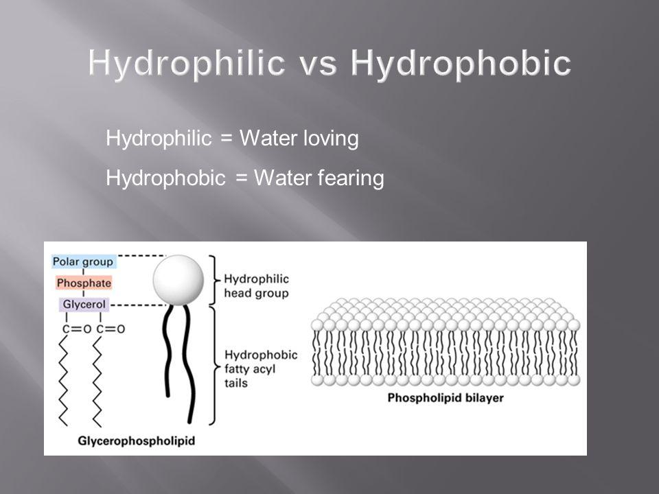 Hydrophilic = Water loving Hydrophobic = Water fearing