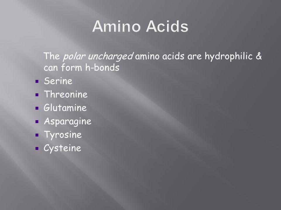 The polar uncharged amino acids are hydrophilic & can form h-bonds  Serine  Threonine  Glutamine  Asparagine  Tyrosine  Cysteine