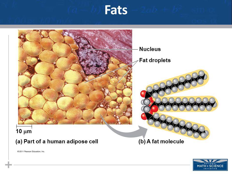 Nucleus Fat droplets (b) A fat molecule(a) Part of a human adipose cell 10  m Fats