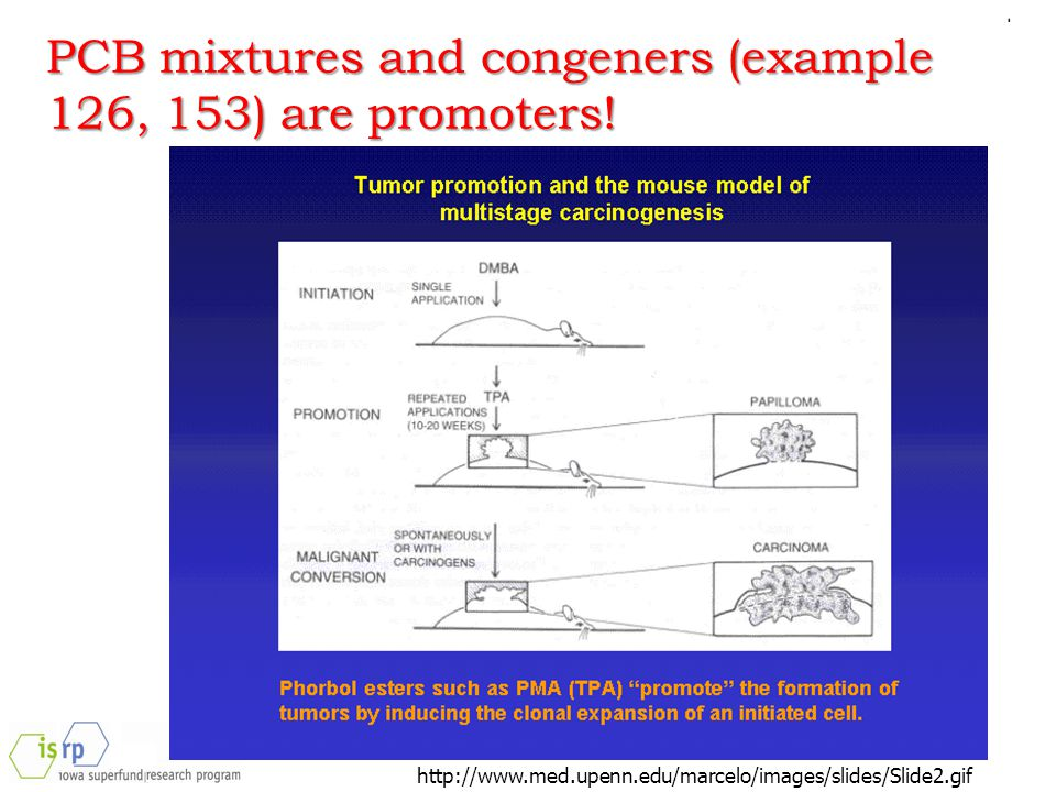 http://www.med.upenn.edu/marcelo/images/slides/Slide2.gif PCB mixtures and congeners (example 126, 153) are promoters!