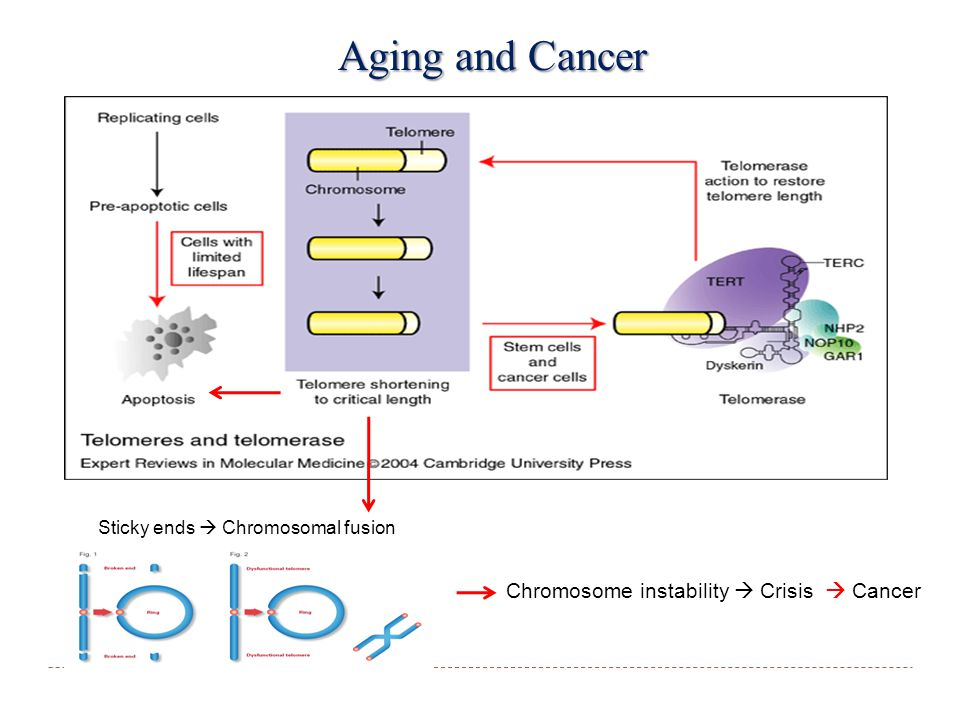 Sticky ends  Chromosomal fusion Chromosome instability  Crisis  Cancer Aging and Cancer