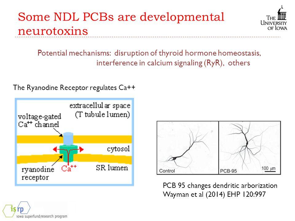 Some NDL PCBs are developmental neurotoxins PCB 95 changes dendritic arborization Wayman et al (2014) EHP 120:997 Potential mechanisms: disruption of