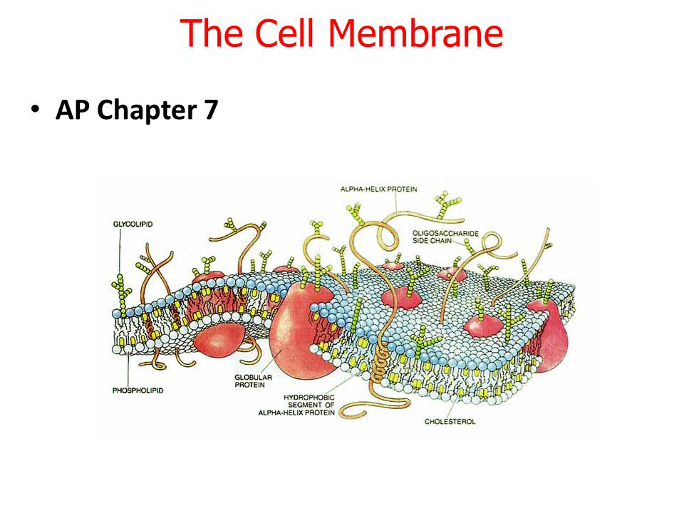 Different types of phospholipids making up the membrane