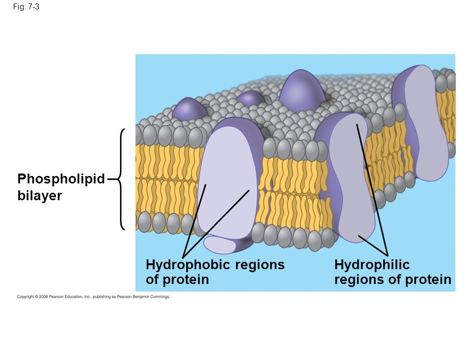 The steroid cholesterol has different effects on membrane fluidity at different temperatures At warm temperatures (such as 37°C), cholesterol restrains movement of phospholipids At cool temperatures, it maintains fluidity by preventing tight packing Copyright © 2008 Pearson Education, Inc., publishing as Pearson Benjamin Cummings
