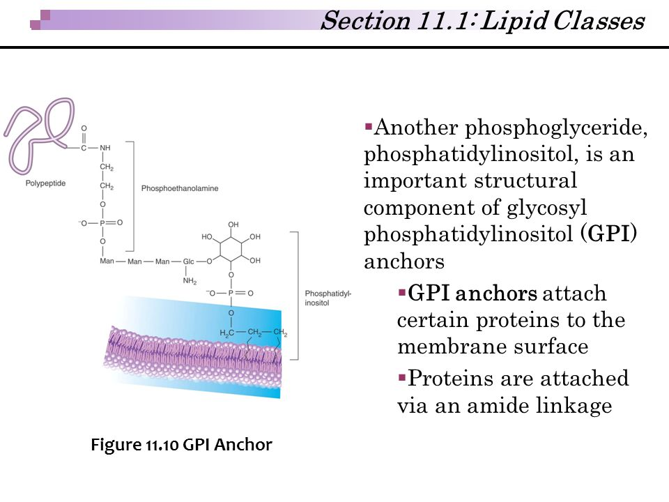  Another phosphoglyceride, phosphatidylinositol, is an important structural component of glycosyl phosphatidylinositol (GPI) anchors  GPI anchors at