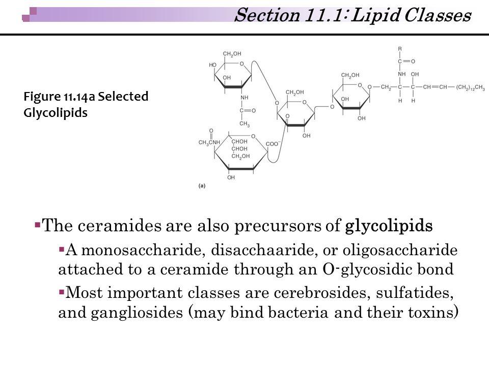 The ceramides are also precursors of glycolipids  A monosaccharide, disacchaaride, or oligosaccharide attached to a ceramide through an O-glycosidi