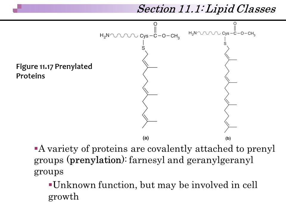  A variety of proteins are covalently attached to prenyl groups (prenylation): farnesyl and geranylgeranyl groups  Unknown function, but may be invo