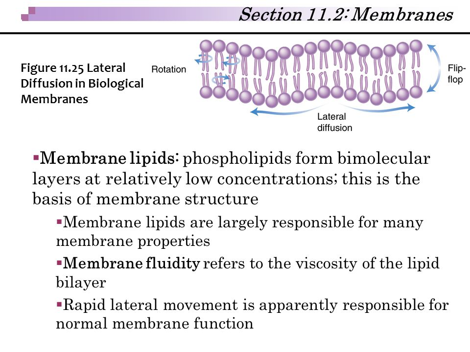  Membrane lipids: phospholipids form bimolecular layers at relatively low concentrations; this is the basis of membrane structure  Membrane lipids a