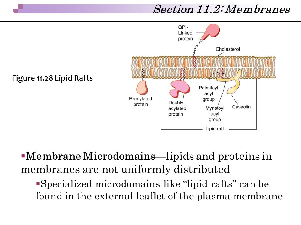""" Membrane Microdomains—lipids and proteins in membranes are not uniformly distributed  Specialized microdomains like """"lipid rafts"""" can be found in t"""