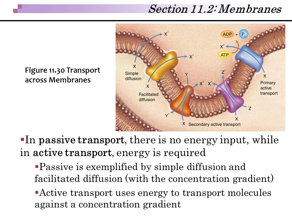  In passive transport, there is no energy input, while in active transport, energy is required  Passive is exemplified by simple diffusion and facil