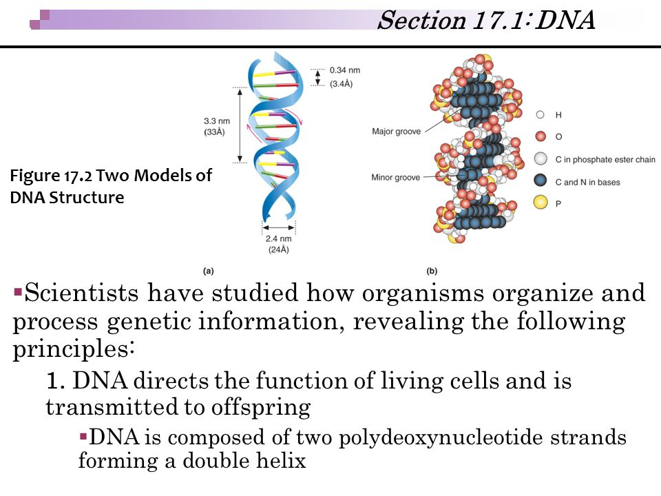  Scientists have studied how organisms organize and process genetic information, revealing the following principles: 1. DNA directs the function of l