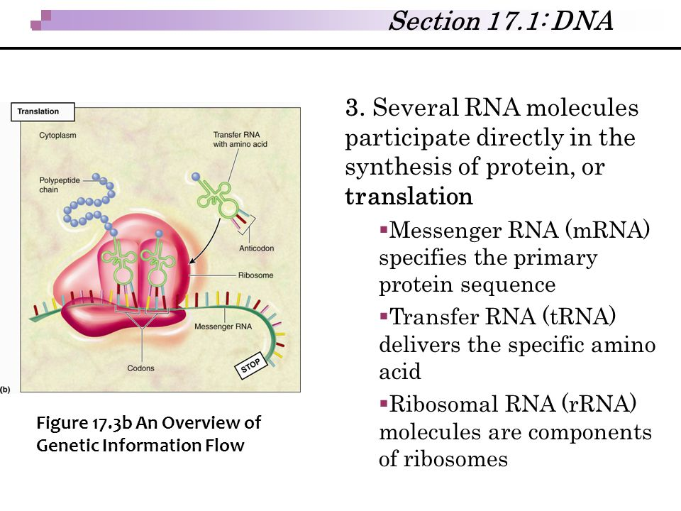 3. Several RNA molecules participate directly in the synthesis of protein, or translation  Messenger RNA (mRNA) specifies the primary protein sequenc