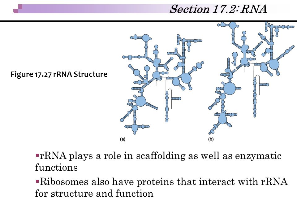  rRNA plays a role in scaffolding as well as enzymatic functions  Ribosomes also have proteins that interact with rRNA for structure and function Se