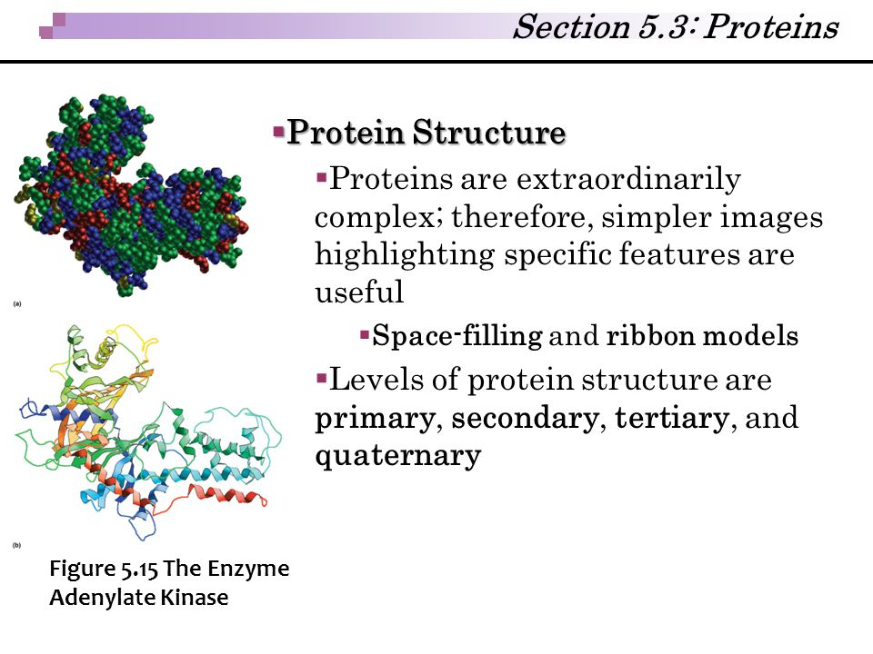 Section 5.3: Proteins  Protein Structure  Proteins are extraordinarily complex; therefore, simpler images highlighting specific features are useful