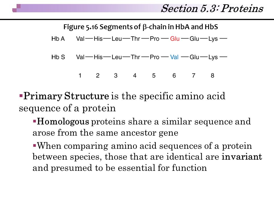 Section 5.3: Proteins  Primary Structure is the specific amino acid sequence of a protein  Homologous proteins share a similar sequence and arose fr
