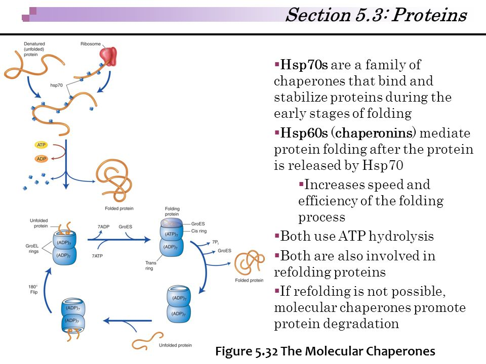  Hsp70s are a family of chaperones that bind and stabilize proteins during the early stages of folding  Hsp60s (chaperonins) mediate protein folding