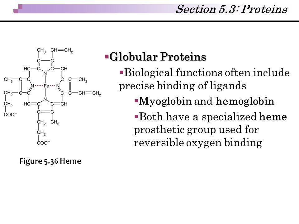  Globular Proteins  Biological functions often include precise binding of ligands  Myoglobin and hemoglobin  Both have a specialized heme prosthet