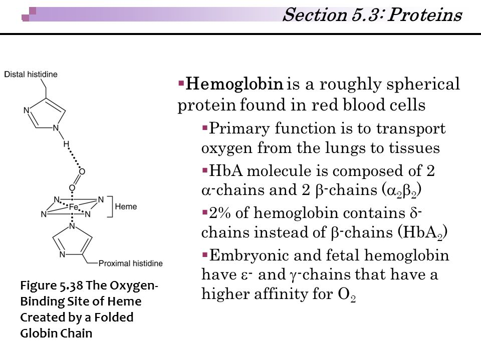  Hemoglobin is a roughly spherical protein found in red blood cells  Primary function is to transport oxygen from the lungs to tissues  HbA molecul