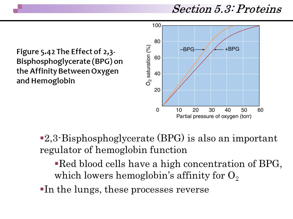  2,3-Bisphosphoglycerate (BPG) is also an important regulator of hemoglobin function  Red blood cells have a high concentration of BPG, which lowers