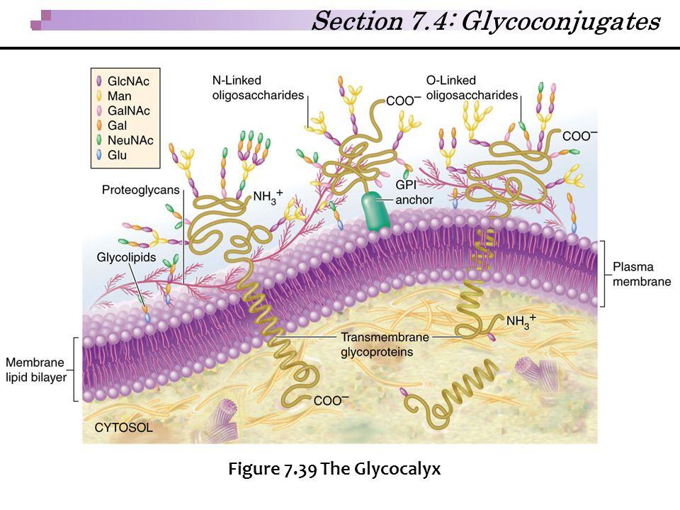 Section 7.4: Glycoconjugates Figure 7.39 The Glycocalyx