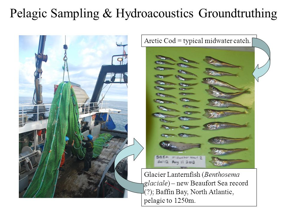 Pelagic Sampling & Hydroacoustics Groundtruthing Arctic Cod = typical midwater catch. Glacier Lanternfish (Benthosema glaciale) – new Beaufort Sea rec