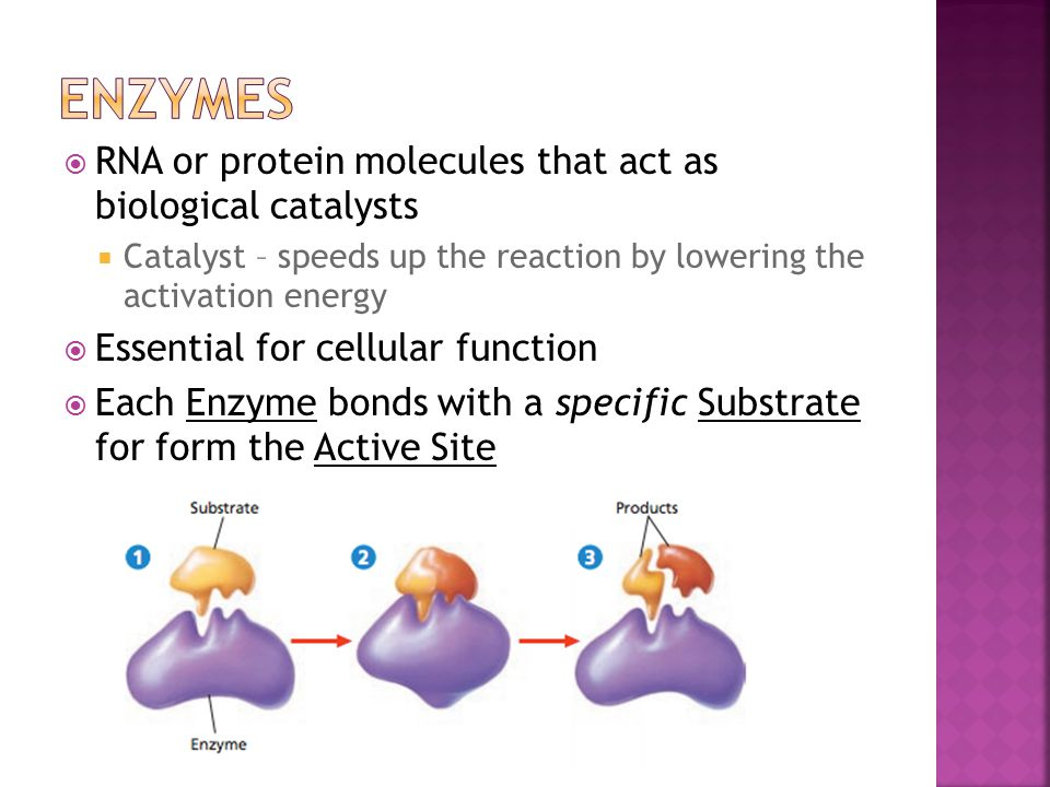  RNA or protein molecules that act as biological catalysts  Catalyst – speeds up the reaction by lowering the activation energy  Essential for cell