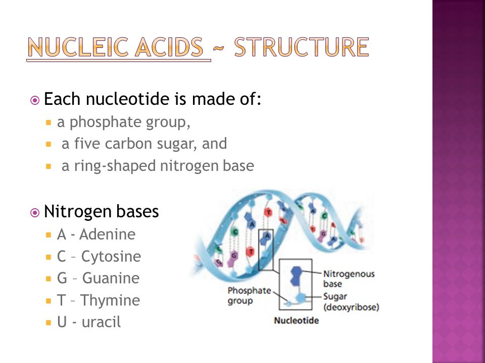  Each nucleotide is made of:  a phosphate group,  a five carbon sugar, and  a ring-shaped nitrogen base  Nitrogen bases  A - Adenine  C – Cytos
