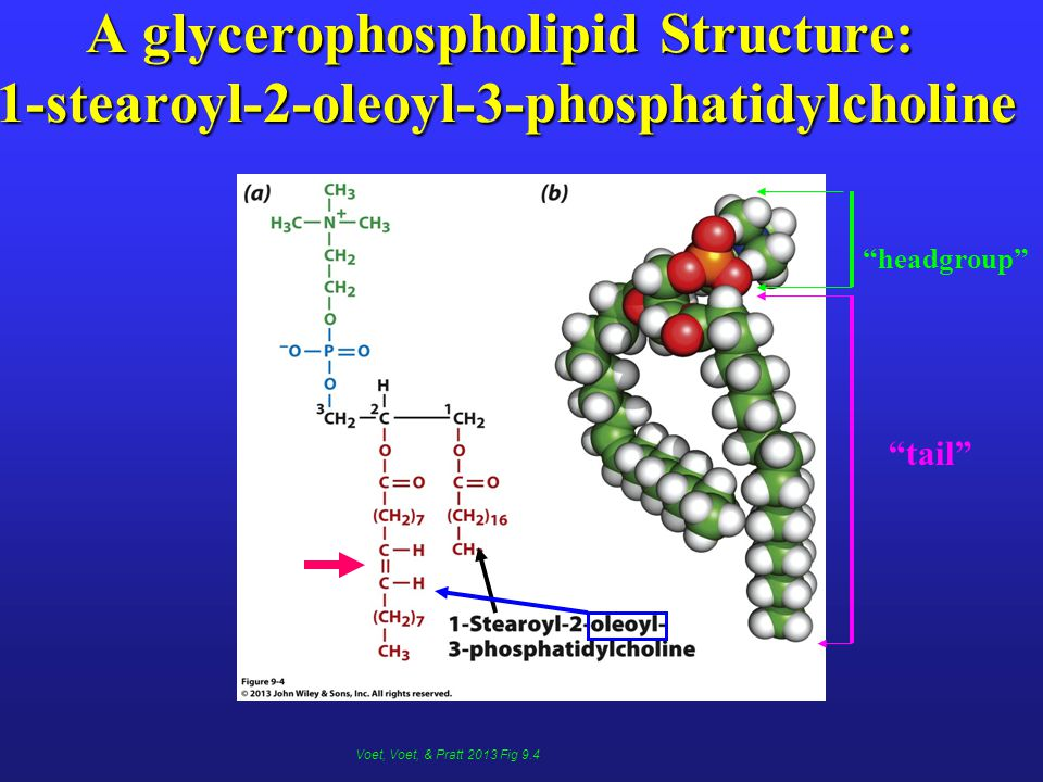 A glycerophospholipid Structure: 1-stearoyl-2-oleoyl-3-phosphatidylcholine tail headgroup Voet, Voet, & Pratt 2013 Fig 9.4