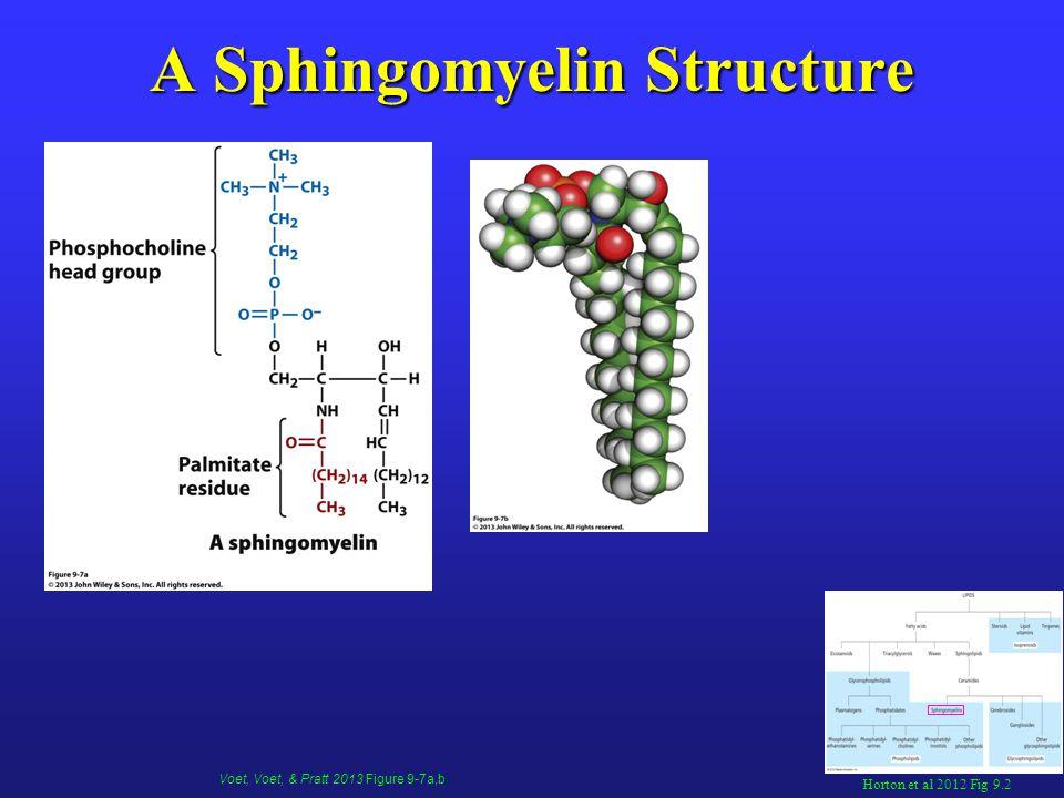 A Sphingomyelin Structure Horton et al 2012 Fig 9.2 Voet, Voet, & Pratt 2013 Figure 9-7a,b