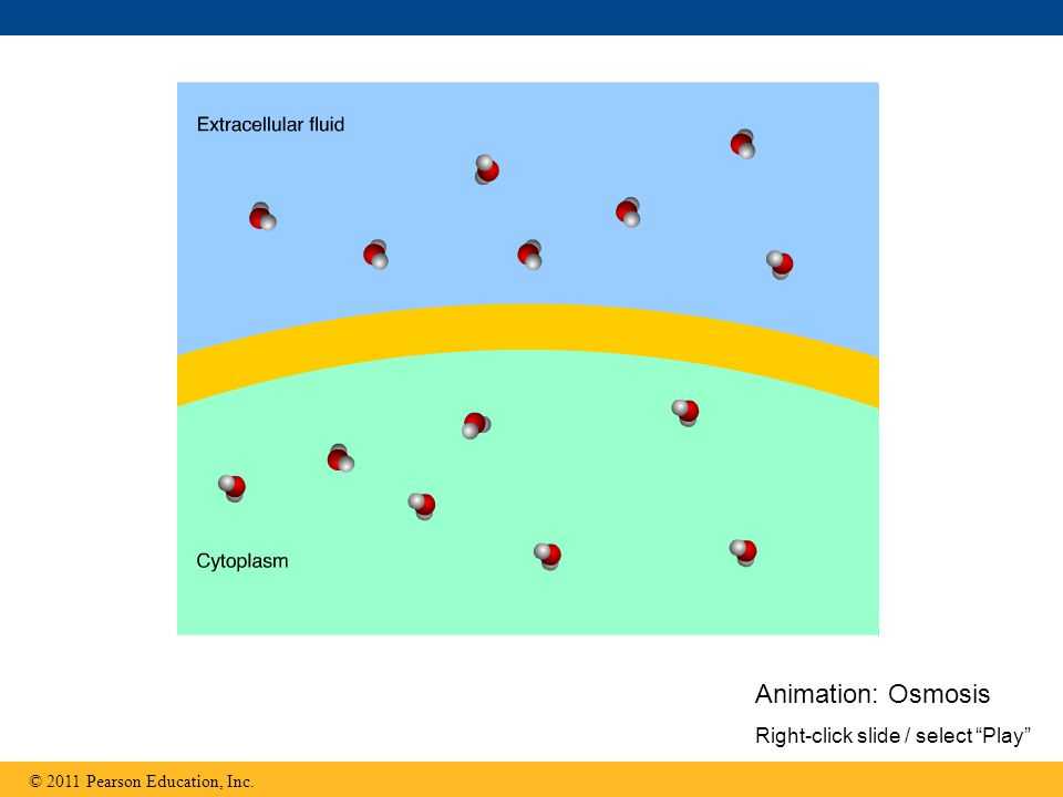 © 2011 Pearson Education, Inc. Animation: Osmosis Right-click slide / select Play