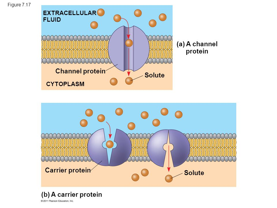 Figure 7.17 EXTRACELLULAR FLUID CYTOPLASM Channel protein Solute Carrier protein (a) A channel protein (b) A carrier protein