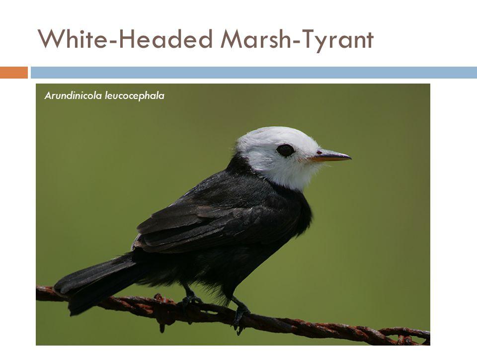 White-Headed Marsh-Tyrant Arundinicola leucocephala