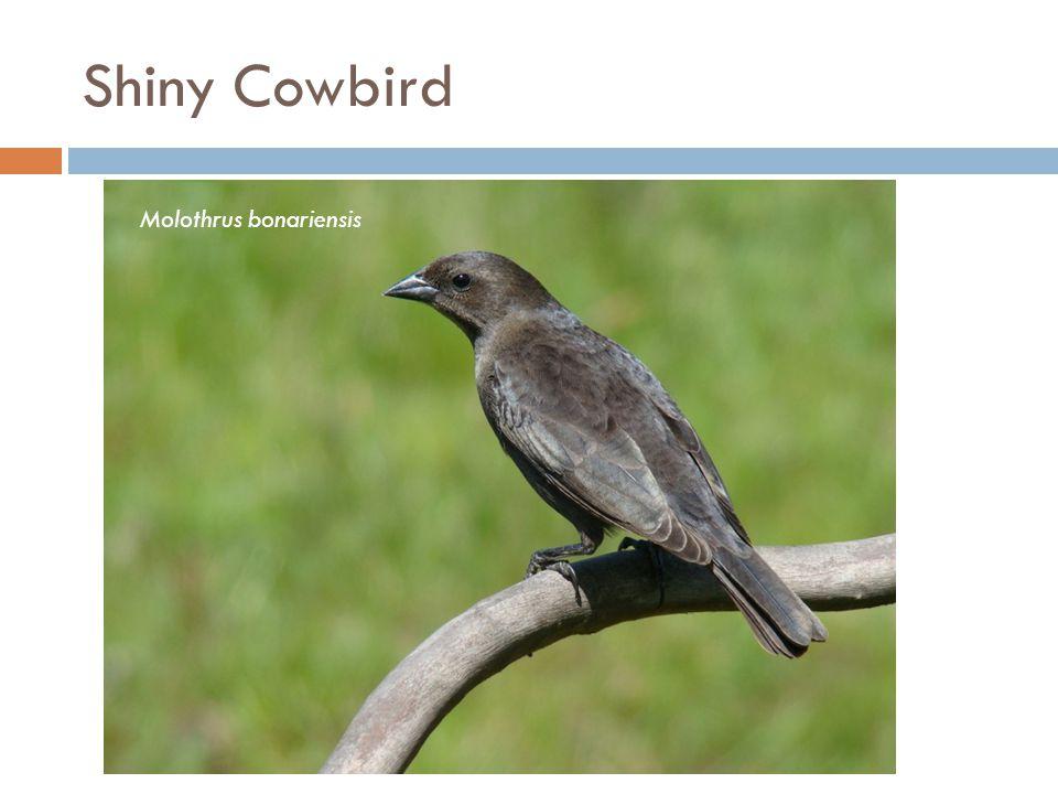 Shiny Cowbird Molothrus bonariensis