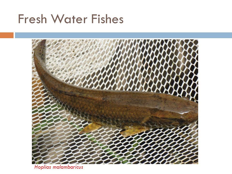 Fresh Water Fishes Hoplias malambaricus