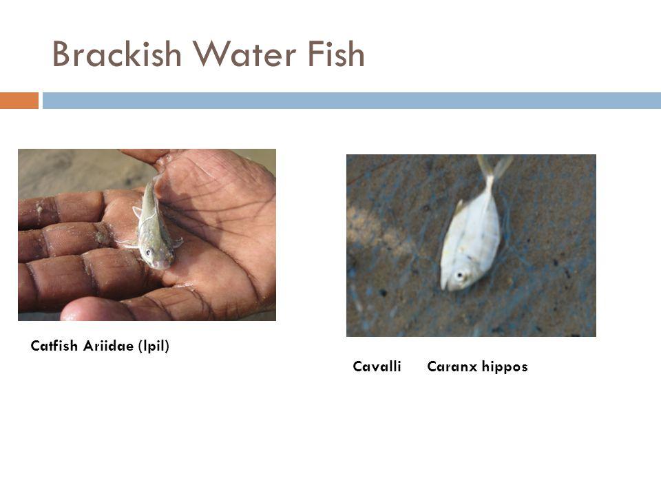 Brackish Water Fish Cavalli Caranx hippos Catfish Ariidae (lpil)