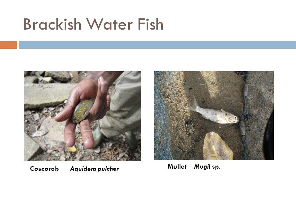 Brackish Water Fish Coscorob Aquidens pulcher Mullet Mugil sp.